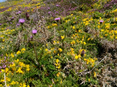 Thistle and Gorse