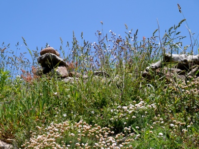 Grasses and thrift, Galicia