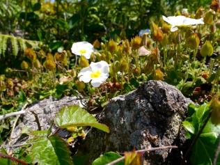 Tiny Rock Rose