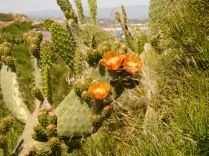 Wild Cacti