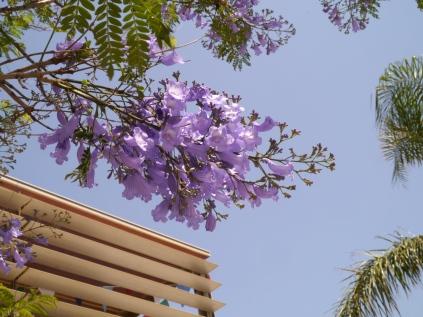 Spanish blossom