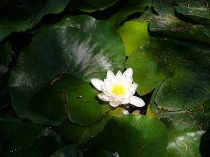 Waterlilt